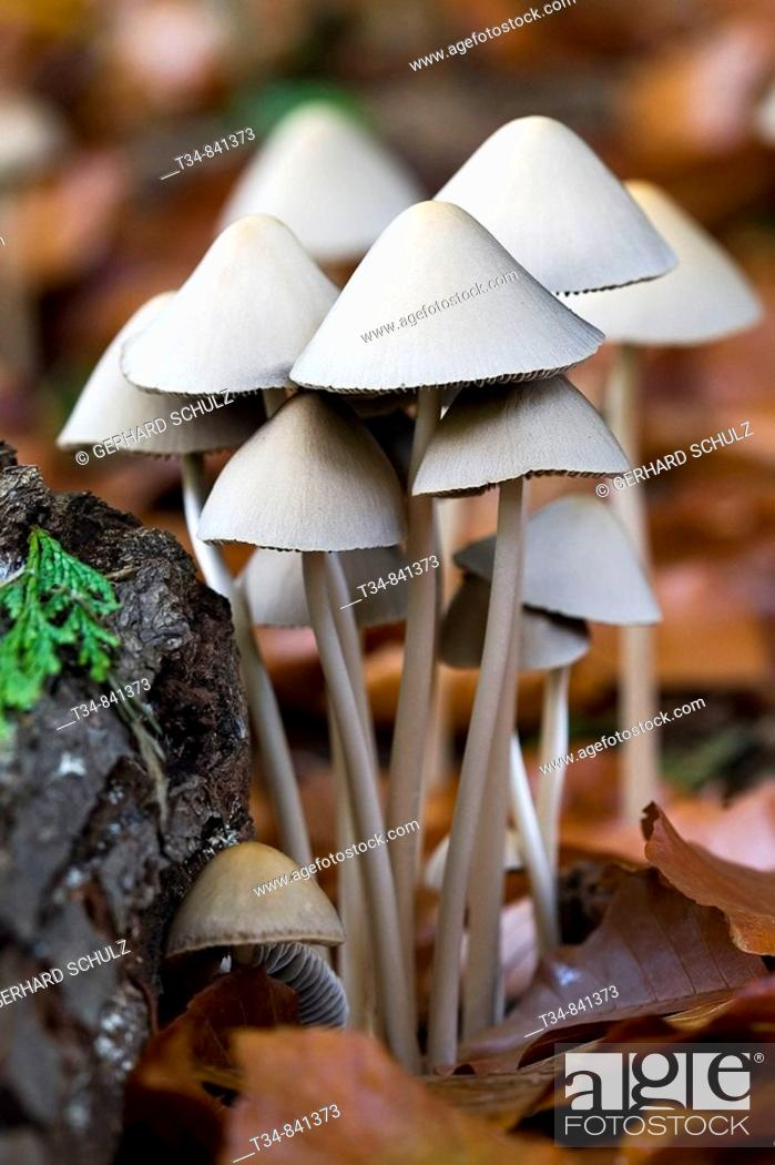 Stock Photo: Conical Brittlestem (Psathyrella conopilus), Schleswig-Holstein, Germany.