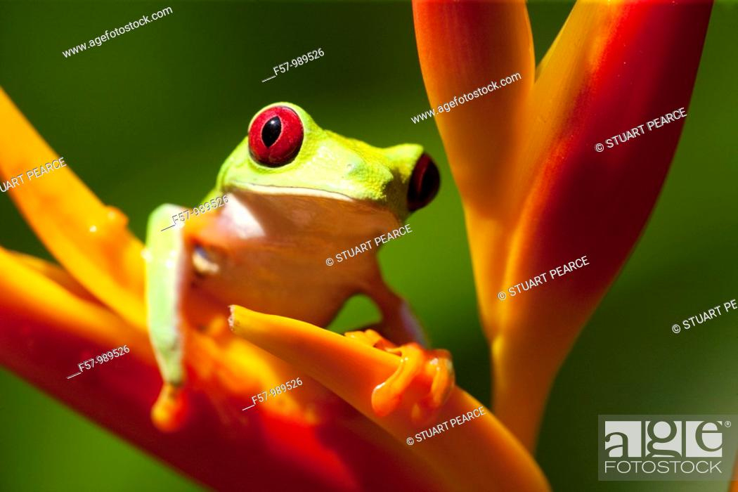 Stock Photo: Red-eyed Tree frog, Costa Rica.
