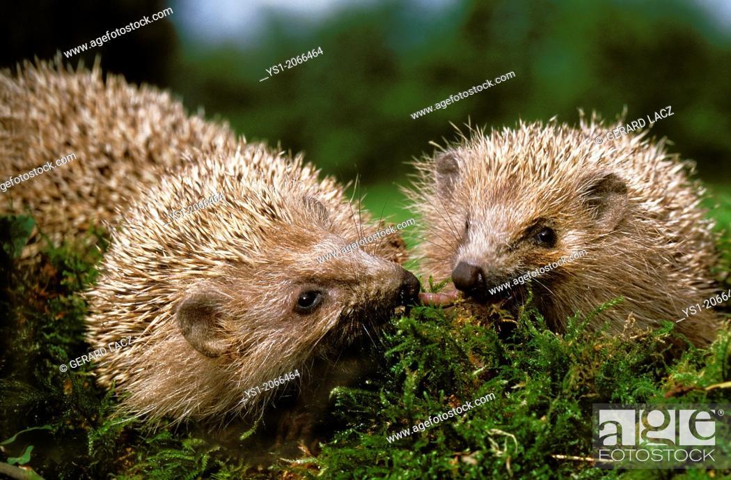 Stock Photo: European Hedgehog, erinaceus europaeus, Normandy.