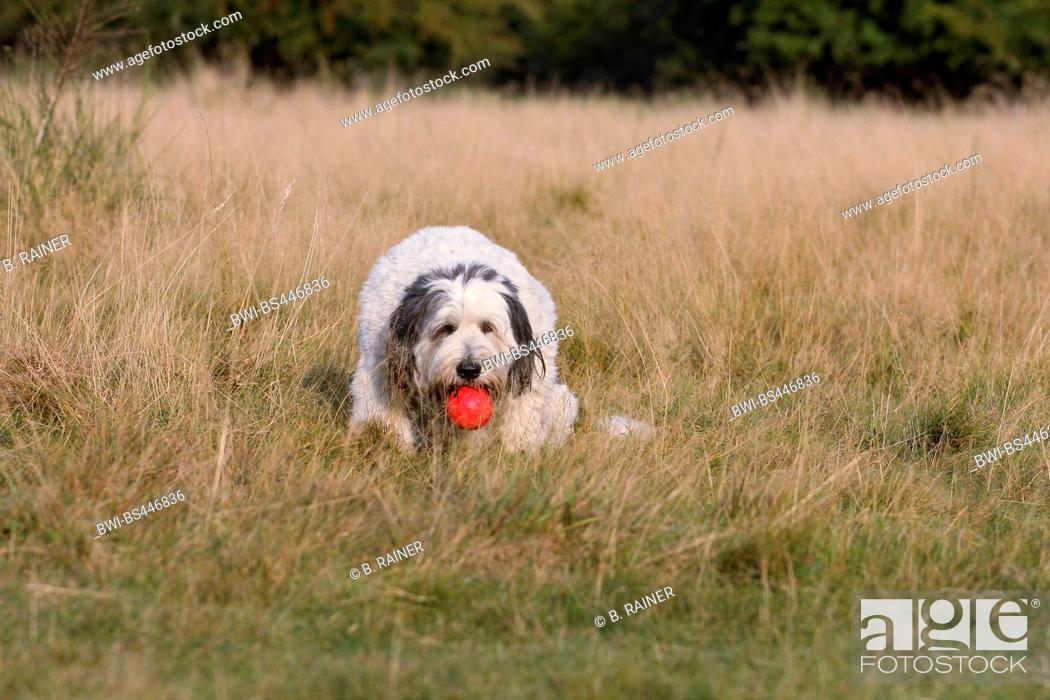 Stock Photo: Polish Lowland Sheepdog, PON (Canis lupus f. familiaris), three years old trimmed she dog sitting on dried grass with a red ball in the mouth, Germany.