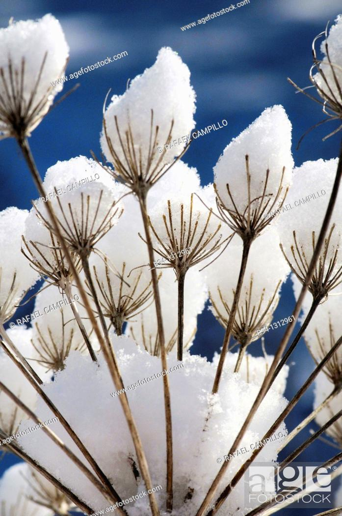 Stock Photo: Dry Umbelliferae plants with snow. Osseja. Languedoc Roussillon. Pyrénées Orientales. France.