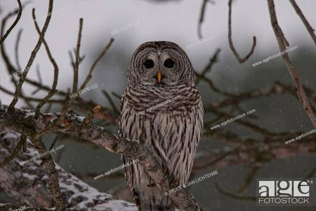 Stock Photo: Canada, Ontario, Barred Owl Strix varia on branch.