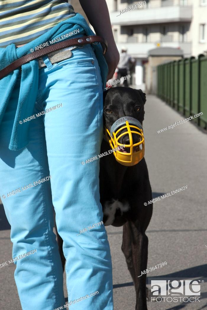 Stock Photo: A muzzled Greyhound in Vienna, Austria.
