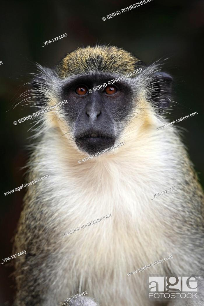 Stock Photo: Green Monkey, Chlorocebus sabaeus, portrait, The Gambia.