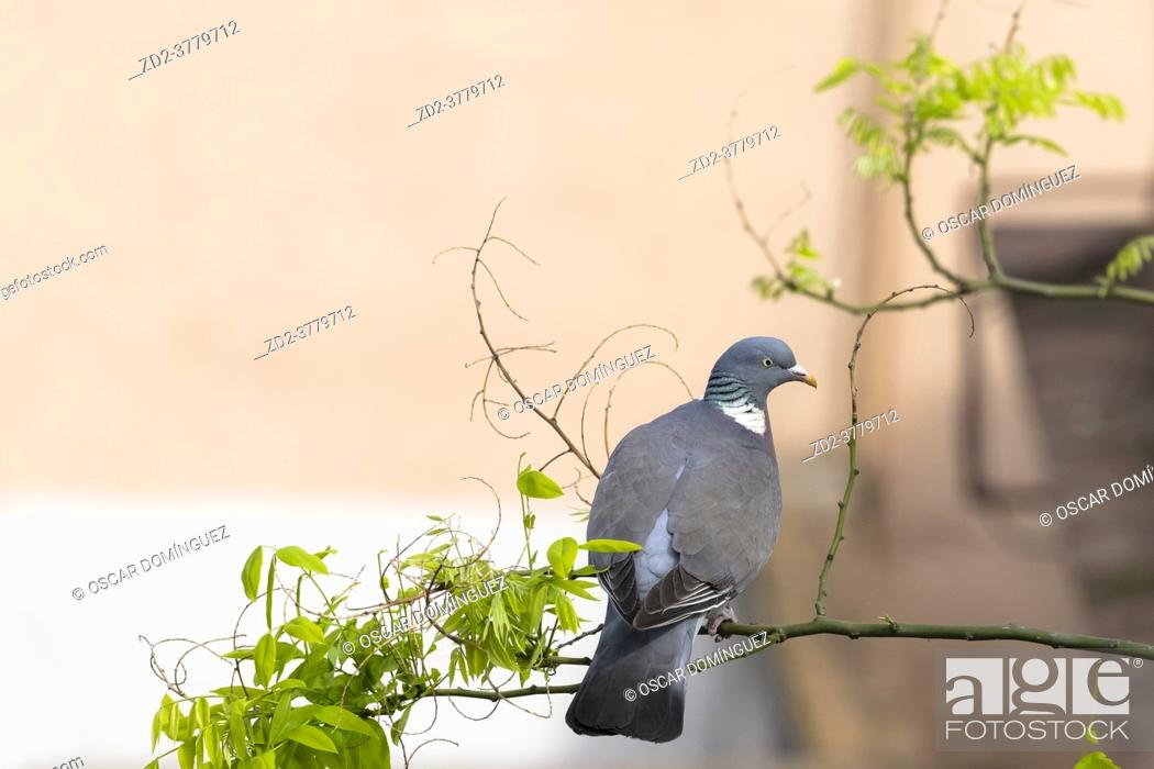 Stock Photo: Common Woodpigeon (Columba palumbus), adult perched on Japanese pagoda tree (Styphnolobium japonicum). Birds begin to occupy the empty spaces due to the.