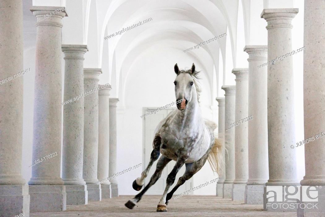 Stock Photo: Lipizzan Bonavoia canters through a ballroom-hall in Schloss Hof, one the biggest baroque palaces in Europe. Austria.