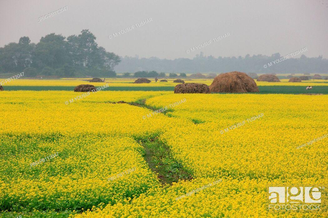 Stock Photo: mustard field Bangladesh Manikgonj, Bangladesh.
