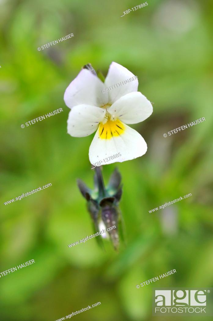 Stock Photo: Field pansy Viola arvensis.