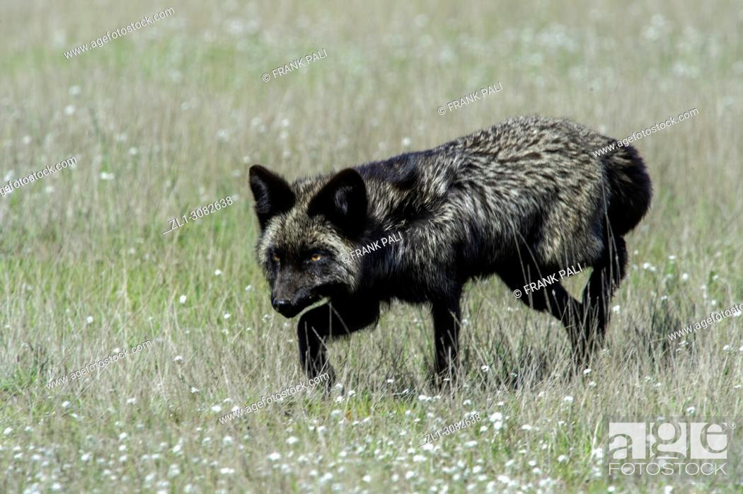 Stock Photo: The cross fox is a partially melanistic colour variant of the red fox (Vulpes vulpes) which has a long dark stripe running down its back.