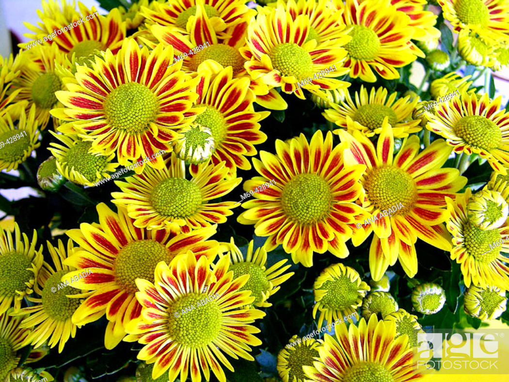 Stock Photo: Red and yellow daisies.