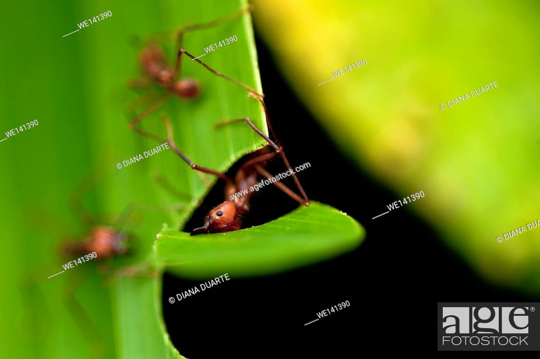 Stock Photo: 'Leaf-cutter Ant'(Atta cephalotes), Deep within the nest, the ants physically and chemically cultivate subterranean â. œgardensâ.