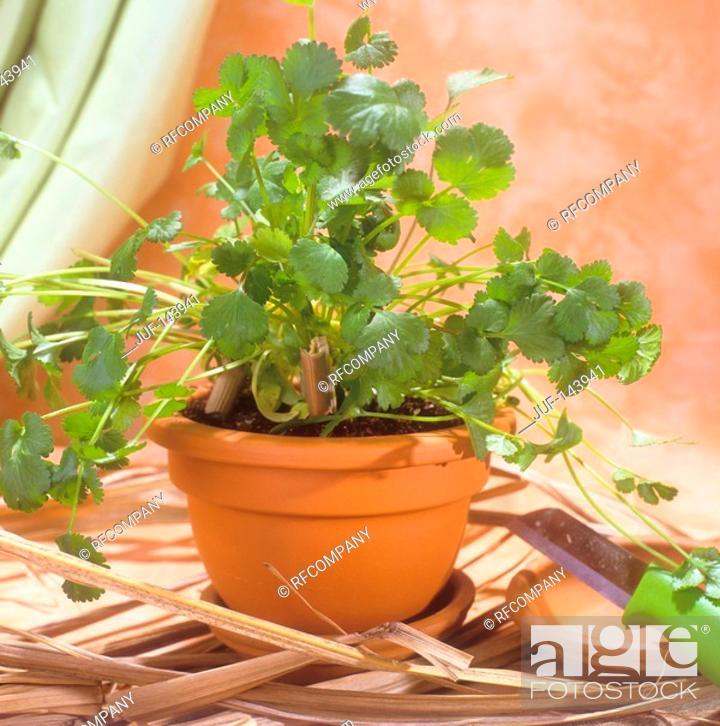 Stock Photo: coriander / Coriandrum sativum.