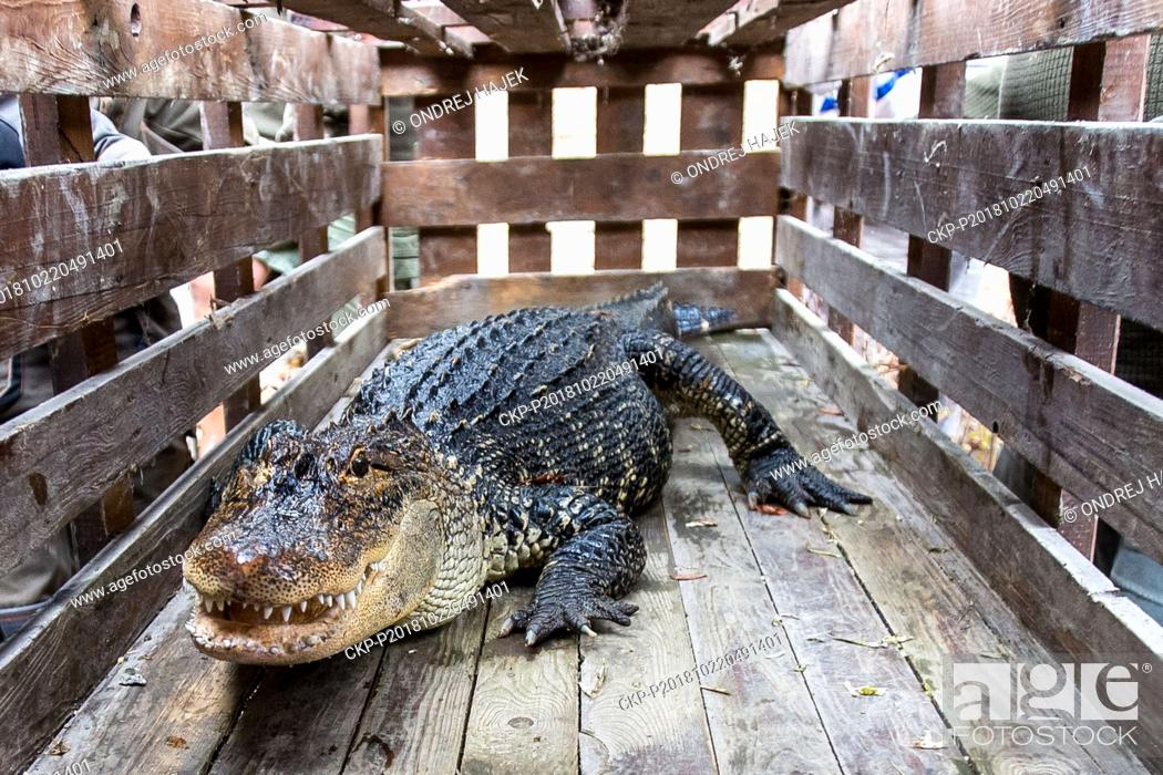 Imagen: Female American Alligator (Alligator mississippiensis) Adela is moved from summer yard to spend winter in more suitable conditions in Zoo Usti nad Labem.