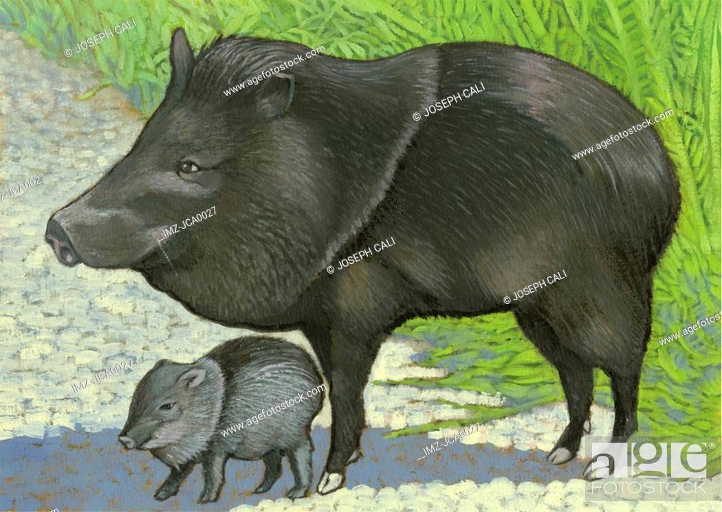 Stock Photo: An illustration of a collard peccary.