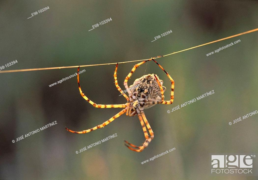 Stock Photo: Spider (Argiope lobata).
