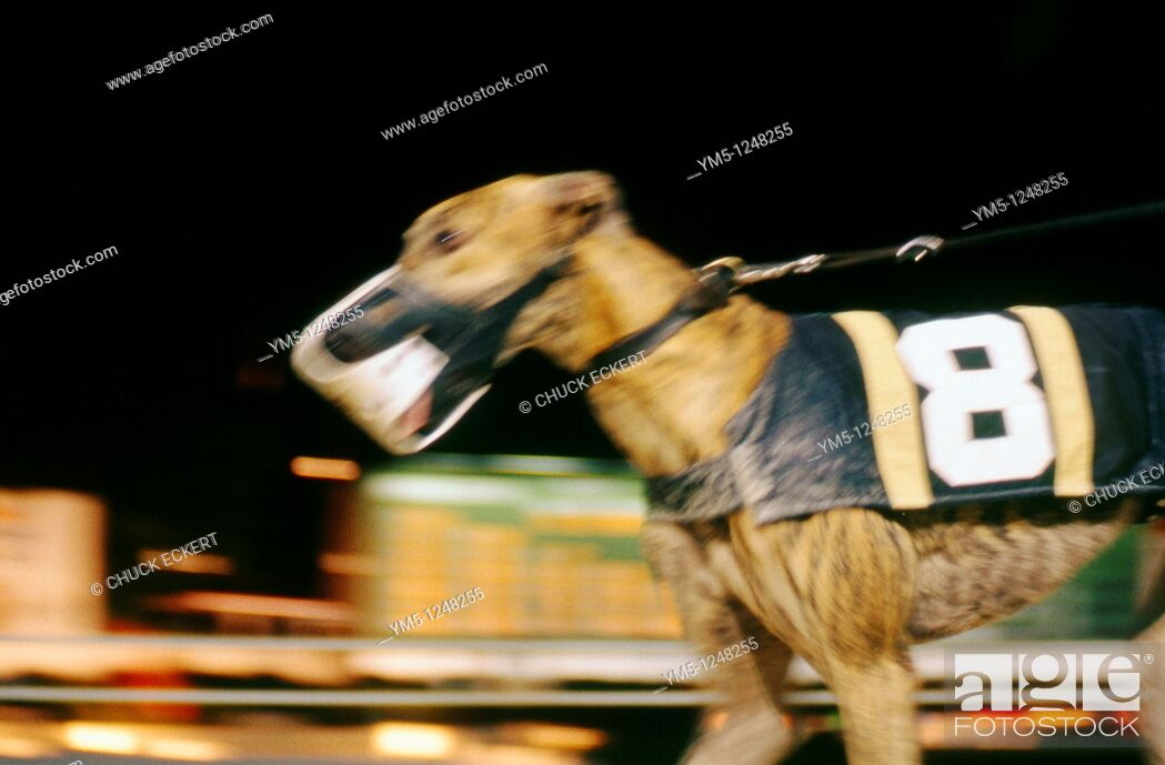 Stock Photo: Blurred Greyhound Racing Dog  Naples/Ft  Myers track in Florida, USA.