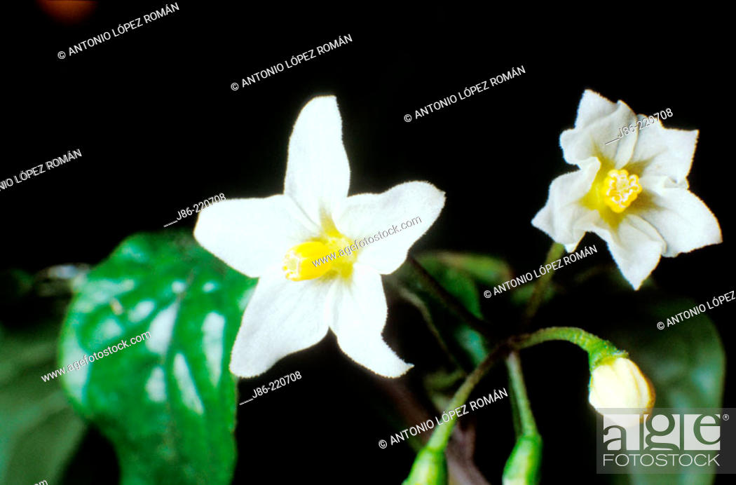 Stock Photo: Nightshade (Solanum nigrum).