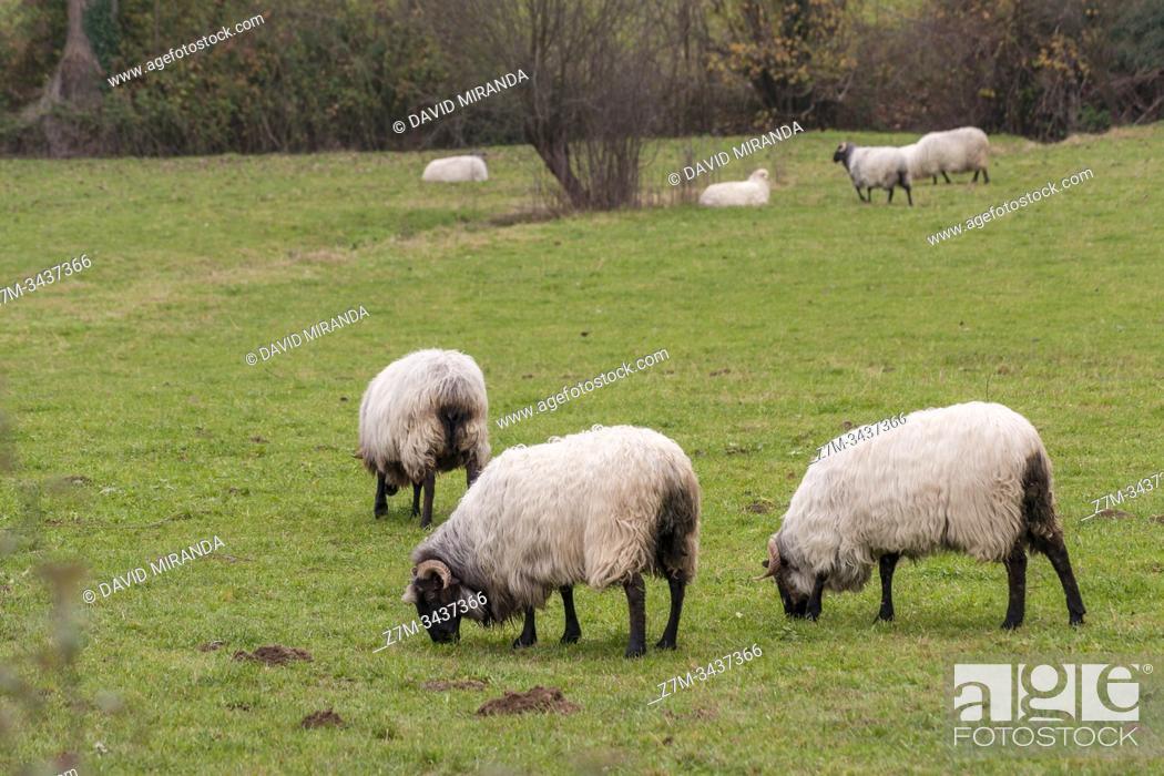 Stock Photo: Sheep. Lezama. Álava. País Vasco. España.