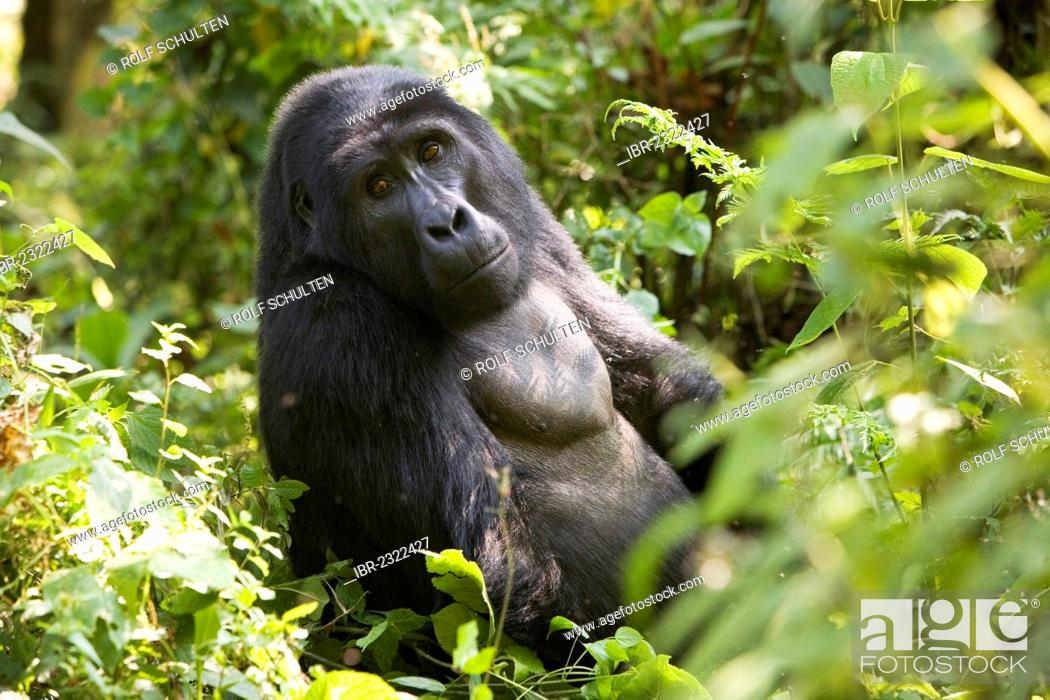 Stock Photo: Habituated group of mountain gorillas (Gorilla beringei beringei), Bwindi Impenetrable Forest National Park, being studied by scientists from the Max Planck.