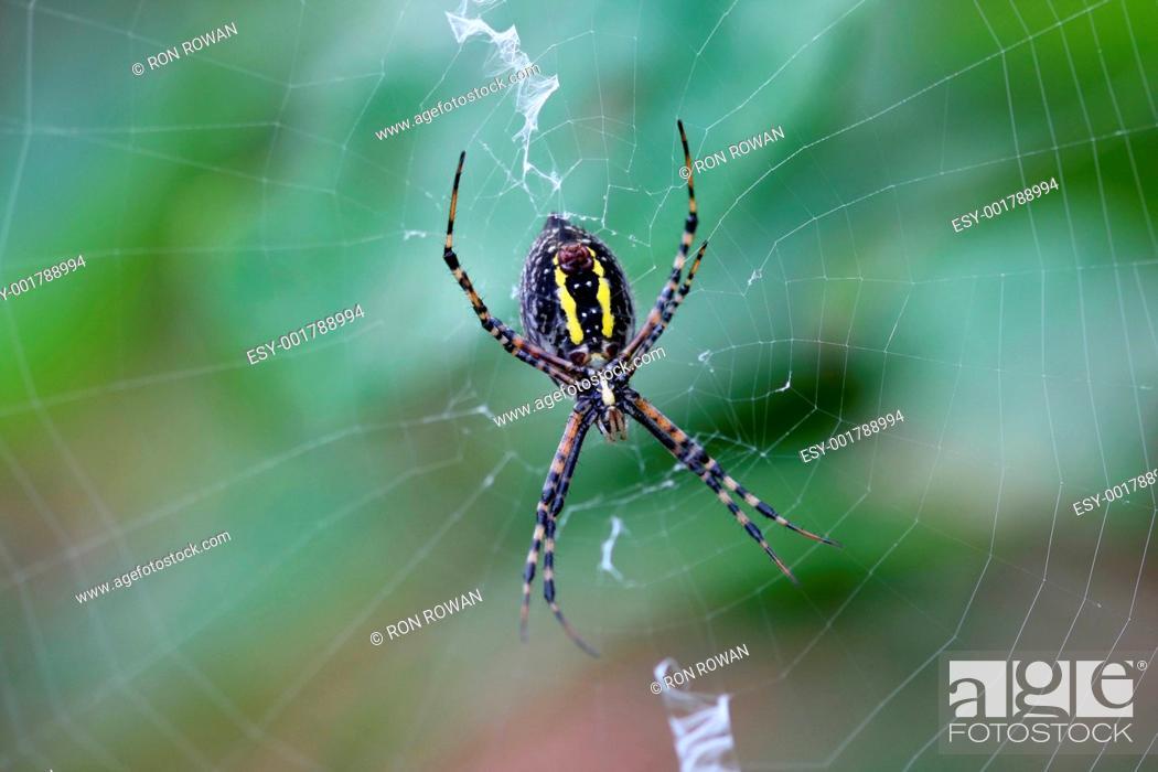Stock Photo: Banded Garden Spider female argiope trifasciata.
