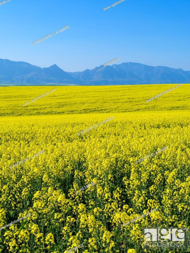 Stock Photo: Canola fields with the Riviersonderend Mountains in the background. Near Riviersonderend. Western Cape. South Africa.