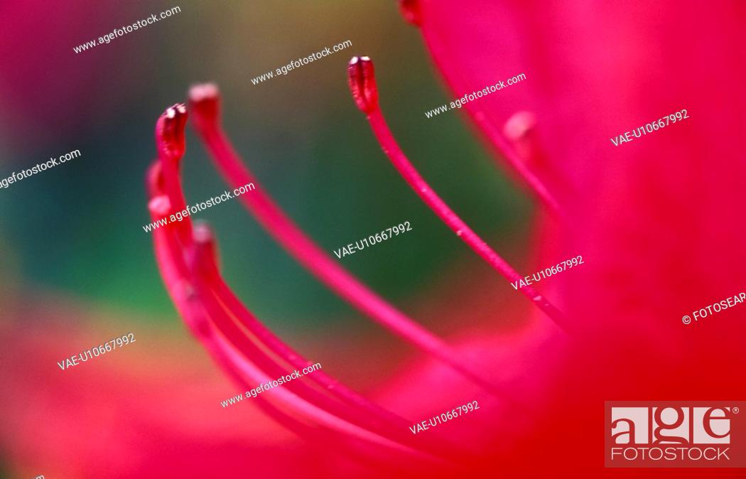 Stock Photo: bluetenstempel, amaryllis, austria, bloom, blooming, blossom, blossoms.