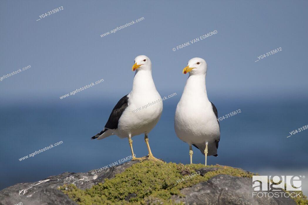 Stock Photo: Cape Gull (Larus dominicanus), Gansbaai, South Africa.