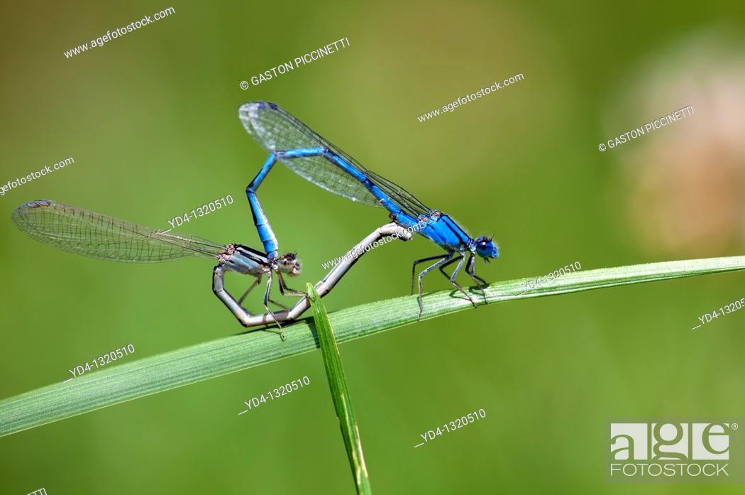 Stock Photo: Male common bluetail dancefly Ischnura heferosticta, and female dansefly, Cincinnati, USA.