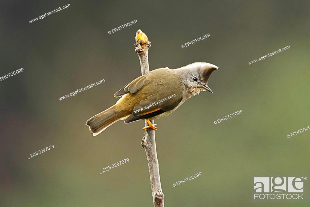 Stock Photo: Striped-throated yuhina, Yuhina gularis, Singalila National Park, Darjeeling, West Bengal, India.