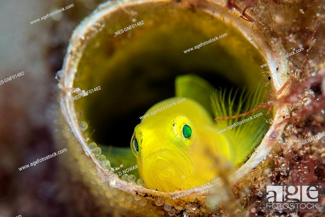 Stock Photo: Yellow pygmy goby, Lubricogobius exiguus.