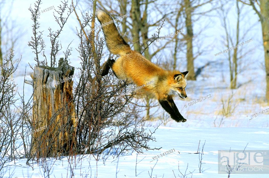 Stock Photo: RED FOX vulpes vulpes LEAPING DOWN IN SNOW , CANADA.