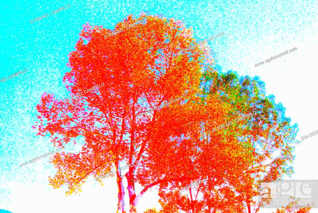 Stock Photo: Trees. Poplars.