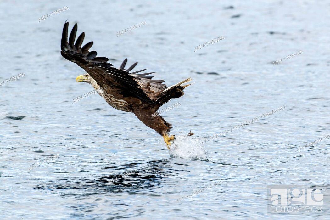 Stock Photo: White-Tailed Eagle - fishing - Isle of Mull, Scotland, United Kingdom.