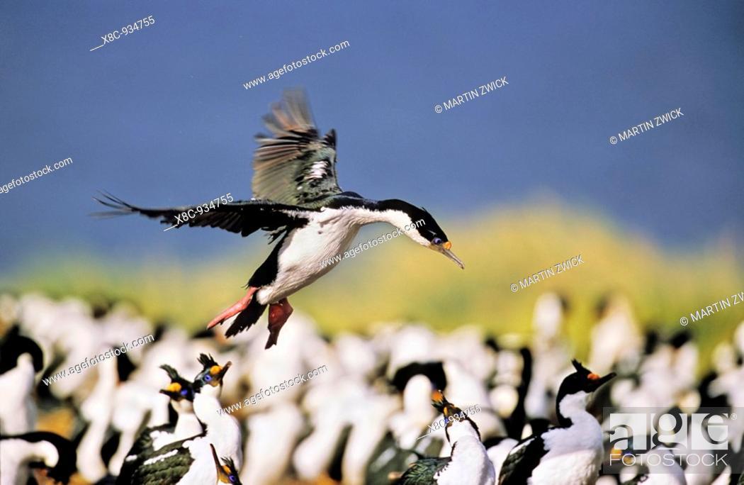 Stock Photo: Imperial Shag or King Shag Phalacrocorax atriceps albiventer on the Falkland Islands, landing in a dense colony  Antarctica, Subantarctica, Falkland Islands.