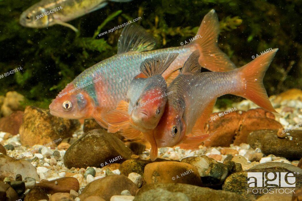 Imagen: red shiner (Notropis lutrensis, Cyprinella lutrensis), rivaling males.