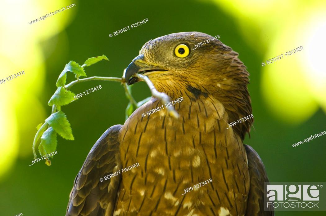 Stock Photo: Honey buzzard (Pernis apivorus) with branch for nest-building Bavaria Germany.