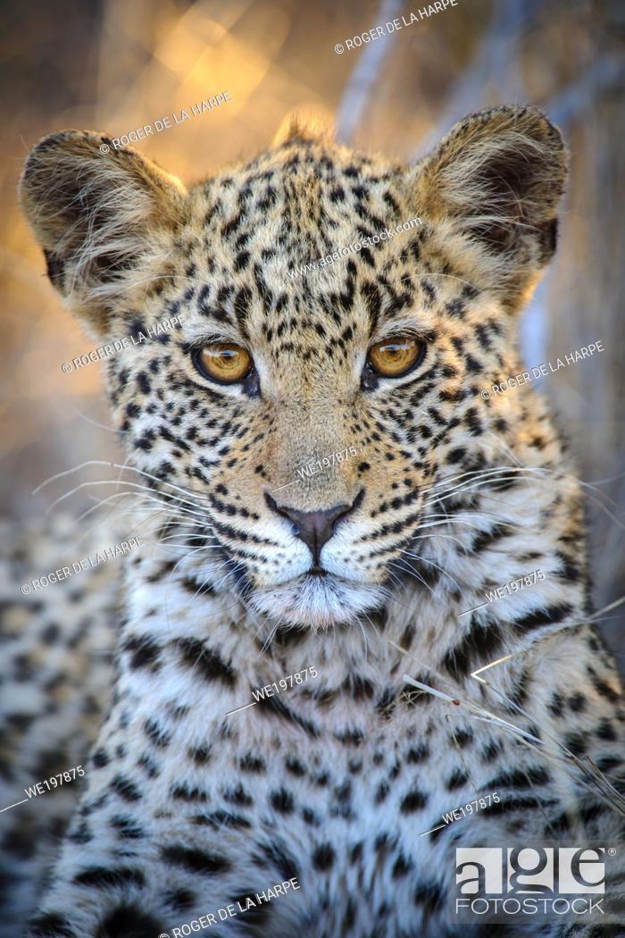 Stock Photo: Leopard (Panthera pardus) juvenile (cub) with the most beautiful eyes. Central Kalahari. Botswana.