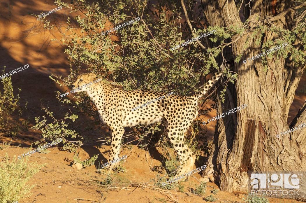 Stock Photo: Cheetah (Acinonyx jubatus). Male. Marking its territory by urinating against a camelthorn tree (Acacia erioloba). Kalahari Desert, Kgalagadi Transfrontier Park.