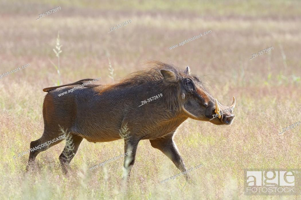 Stock Photo: Common warthog (Phacochoerus africanus), adult male, walking through dry grassland, Kgalagadi Transfrontier Park, Northern Cape, South Africa, Africa.