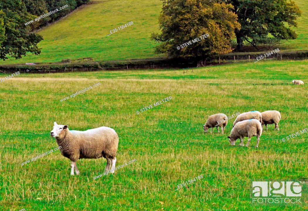 Stock Photo: Sheep grazing in a pasture in England's Midlands marked with blue dye males.
