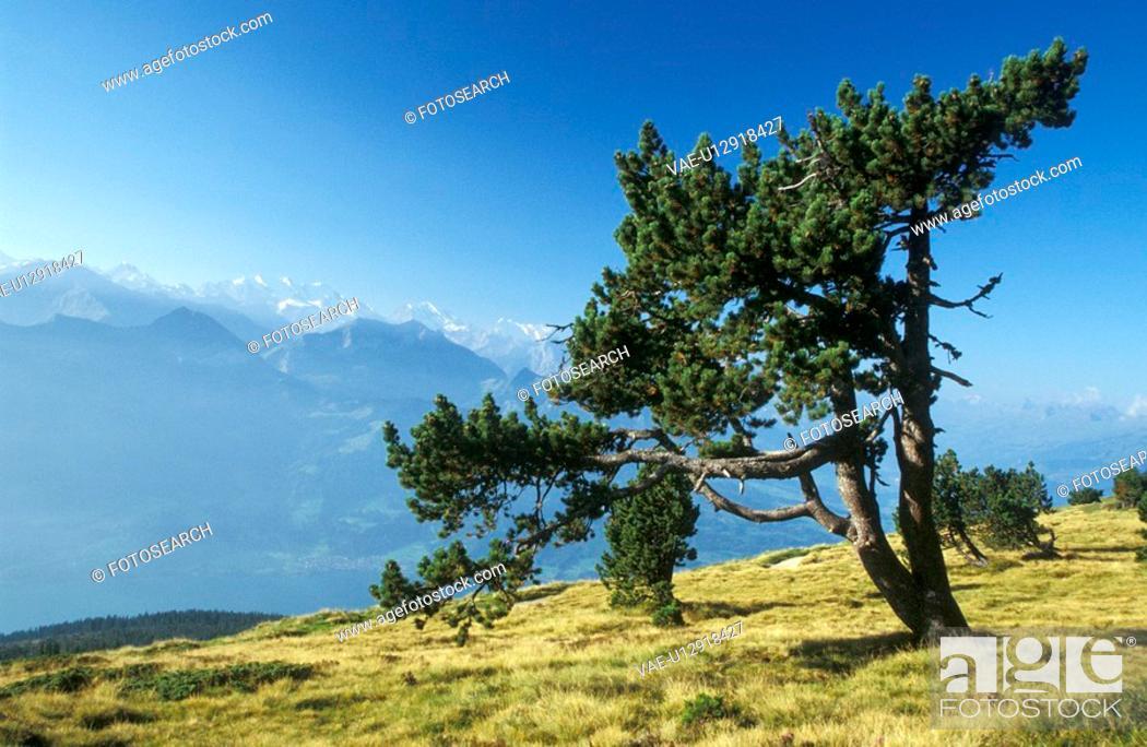Stock Photo: blue, day, coniferae, conifer, aichner.