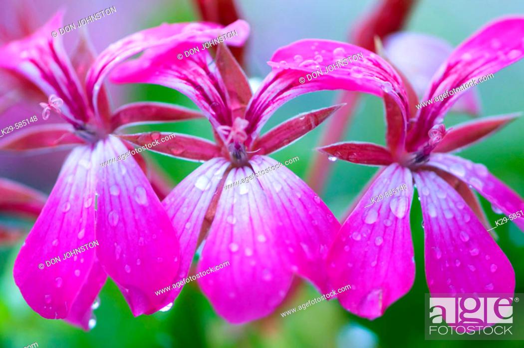 Stock Photo: Geranium flowers in garden with raindrops. Ontario.