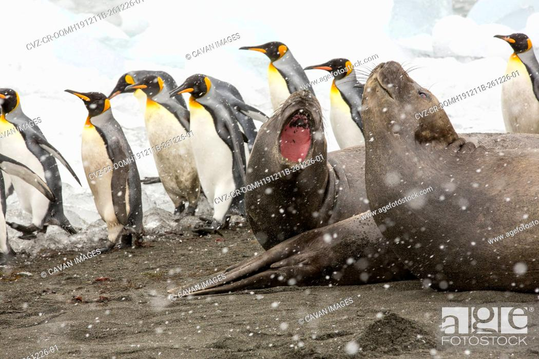 Imagen: Large bull Southern Elephant Seal; Mirounga leonina, at Gold Harbour, South Georgia, Antarctica, in a King Penguin colony.