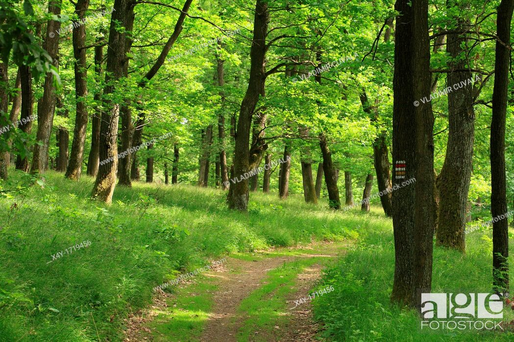 Stock Photo: The hiking trail through the Sessile Oak's forest Quercus petraea, Male Karpaty, Slovakia.