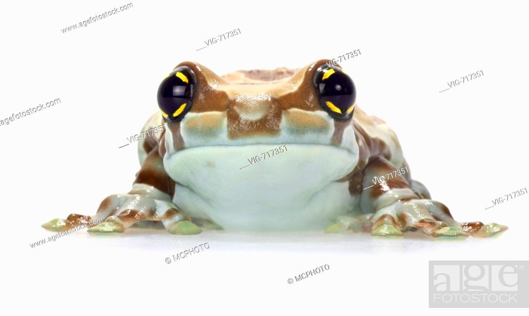 Stock Photo: Amazonian canopy frog (Phrynohyas resinifictrix), front view of a single animal  - 08/12/2007.