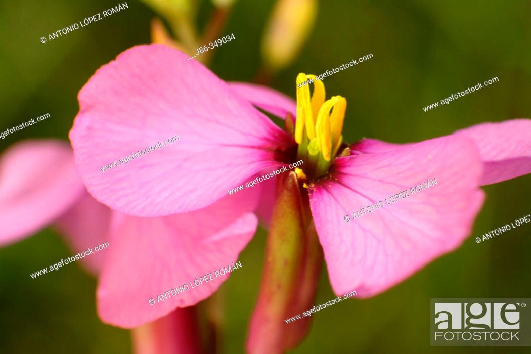 Stock Photo: Purple Mistress (Moricandia arvensis) flower.