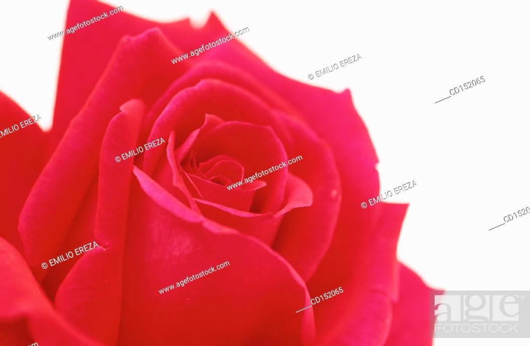 Stock Photo: Rose, Rosa hybr.