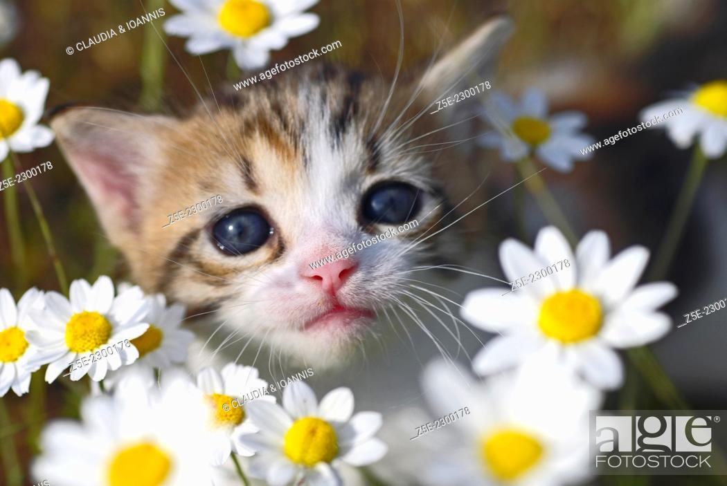 Stock Photo: Three weeks old kitten sitting between flowers and looking up at camera.