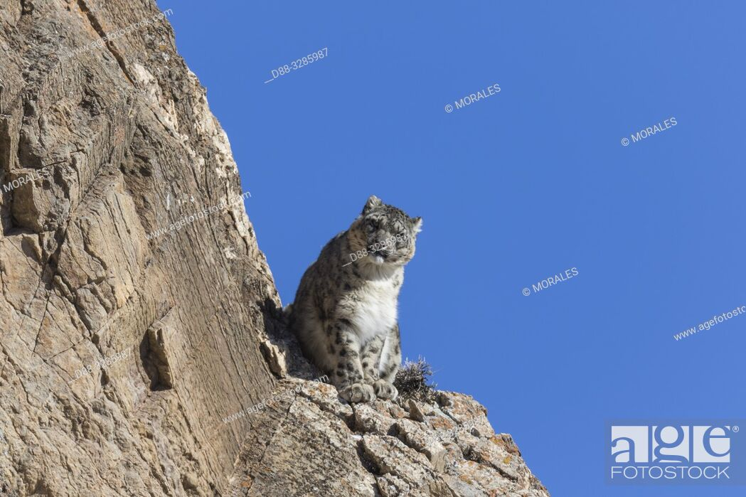 Stock Photo: Asie, Mongolie, Ouest de la Mongolie, Montagnes de l'Altai, Panthère des neiges ou Léopard des neiges, Once ou Irbis (Panthera uncia), sur des rochers / Asia.