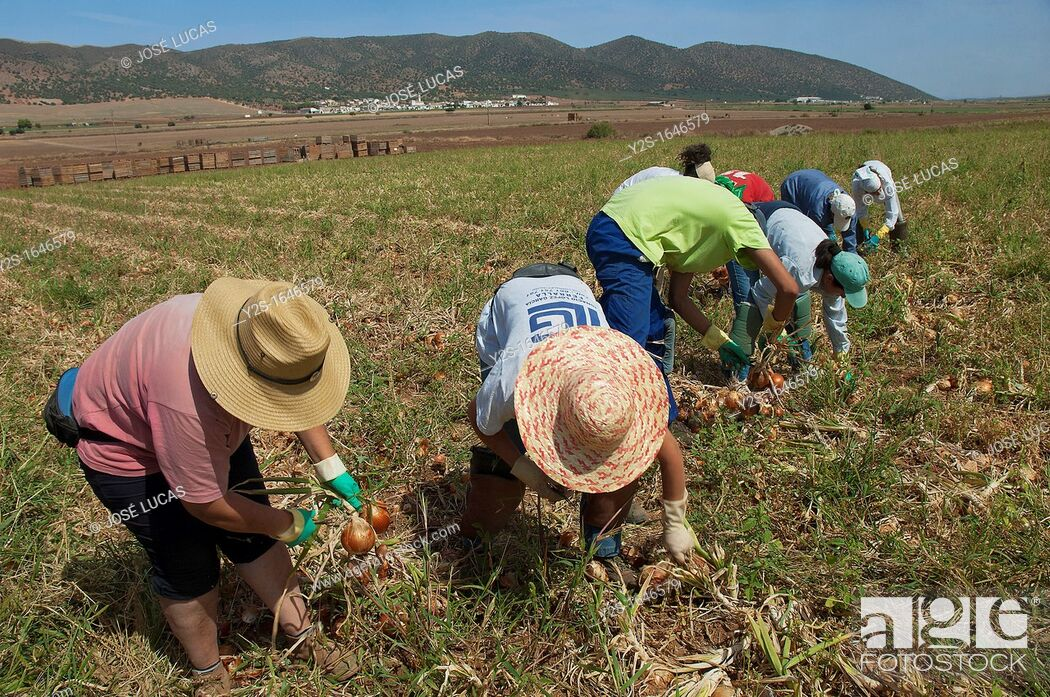 Stock Photo: Ecological agriculture, Onions, Navahermosa-Sierra de Yeguas, Malaga-province, Spain.